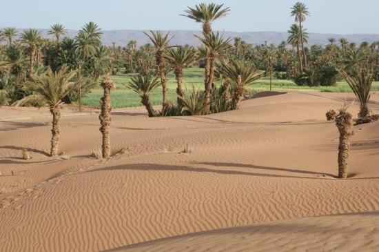 Marche dans le désert du Maroc entre dunes de sable et palmeraie